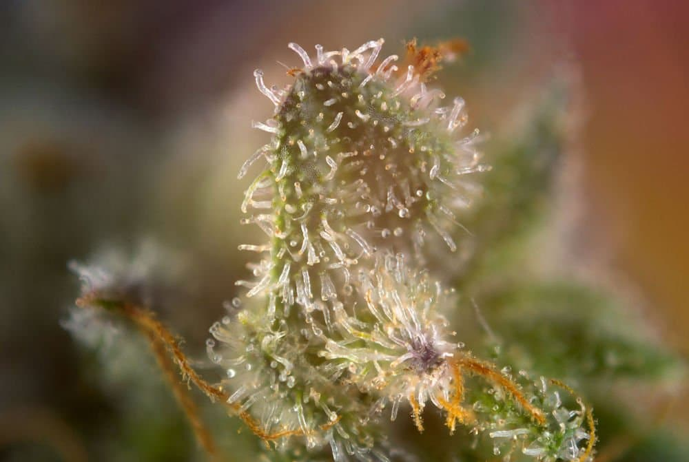 myrcene close up of flower